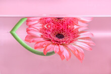 Pink Gerbera Or Barberton Daisy Flower Under Water On Pastel Pink Background. Milk Bath, Beauty Spa, Relaxation Or Wellness Treatment. Youth, Freshness And Tenderness Concept. Summer Floral Background