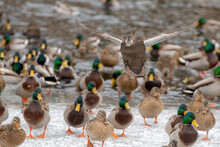 A Female Mallard Duck Flying Over A Large Group Of Ducks Towards The Viewer. It Is Winter, And The Pond Is Partially Frozen. Shallow Depth Of Field.