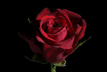 Dark Red Rose Flower Against A Black Background With Copy Space, Traditional Love Symbol