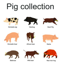 Pig Collection Vector Illustration Isolated On White Background. Boar, Warthog, Red River Hog, Pumba, Domestic Swine, Babirusa. Pork Meat Poster, Butcher Shop. Organic Food Presentation. Farm Animal.