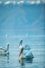 Images Of Dalmatian Pelicans In Kerkini, Greece