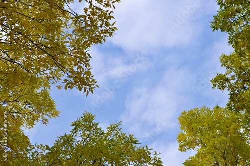 Fototapeta While walking in the forest and gazing above through the cluster of leaves that are turning into beautiful autumn colours, emerges light and airy white clouds that flow freely in the clear, blue sky