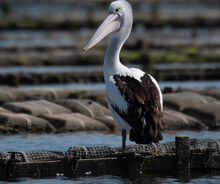 Pelican Resting On Oyster Trays