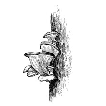 Mushroom Oyster Growing In Forest Wildlife. Vintage Monochrome Hatching Illustration Isolated