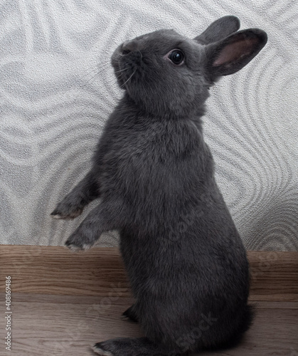 a gray rabbit stands on its hind legs Fototapet