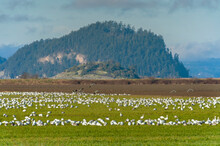Field Of Snow Geese In The Skagit Valley, Washington. Snow Geese Migrate By The Thousands From Wrangell, Alaska To The Agricultural Fields Of The Skagit Valley In Wintertime.