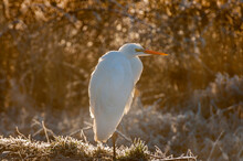 Great Egret, Or Common Egret, Seen In The Skagit Valley, Washington. The Great Egret Is A Large Heron With All-white Plumage. It Has A Slow Flight, With Its Neck Retracted.