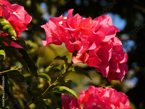 Canvas Print pink bougainvillaea bush in the garden