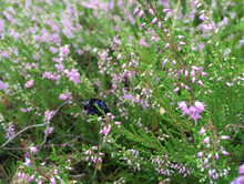Beetle In Heather