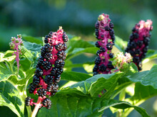 Upright Infructescence Of Pokeberry, Phytolacca