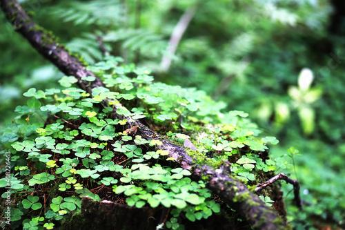 Fototapeta Background from plant clover four leaf