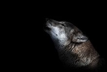 Muzzle Of A Howling Wolf Close-up