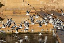 Wintering Black Headed Gulls Chroicocephalus Ridibundus.Salina Nature Reserve, Malta, Mediterranean