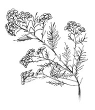 Helichrysum Arenarium. Handdrawn Botanical Illustration. Health And Nature. Medicinal Plant. Hand Drawn Illustration, Isolated On Background. Wild Plant. Wildflowers. Plant Immortelle