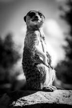 Mongoose / Suricate Sittting And Watching