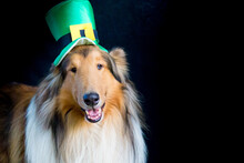 Portrait Of A Rough Collie Dog With Saint Patrick's Day Top Hat