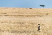 A Watchful Cheetah In The Grasslands Of The Masai Mara