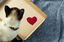 Valentines Day At Home, Single Party, Alone, Present For Lover, Siamese Cat Love