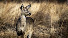 Whitetail Doe Grazing In Winter Grasslands