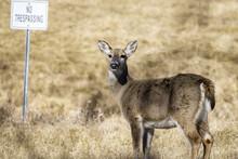 Whitetail Doe Grazing In Winter Grasslands No Trespassing Sign
