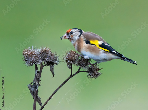 Fotografie, Obraz The European goldfinch or simply the goldfinch (Carduelis carduelis), is a small passerine bird in the finch family
