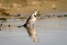 White Wagtail Or Motacilla Alba Bird Portrait With Reflection In Water During Safari At Forest Of Central India