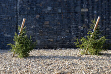 The Spruce Is Very Slender With Horizontal, Short Branches That Protrude From The Trunk. The Bark Of The Trunk Is Gray-brown And Scaly. Planted By A Gabion Wall In A Pebble Flower Bed