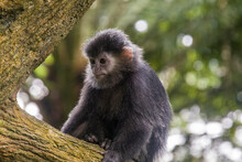 The Baby Javan Lutung (Trachypithecus Auratus) ,  Also Known As The Ebony Lutung And Javan Langur, Is An Old World Monkey From The Colobinae Subfamily