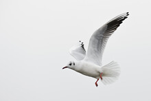 Common Black-headed Gull - Chroicocephalus Ridibundus, Common Beautiful Gull From European Fresh Waters, Switzerland.