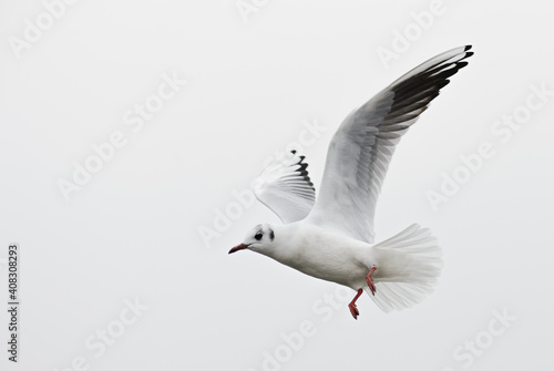 Tableau sur Toile Common Black-headed Gull - Chroicocephalus ridibundus, common beautiful gull from European fresh waters, Switzerland