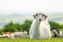 Herd Of Goats And Sheep Grazing On A Green Grass Meadow With A White Goat In The Foreground Looking At The Camera.
