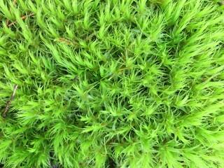 na tapetę , wzór na tapetę , na płytki , wzór na plakat , wzór na fototapetę ,zieleń, roślin, charakter, feuille, gras, koper, ziele, lato, swiezy, tekstura, feuille, mech, jedzenie, drzew, naturalny,
