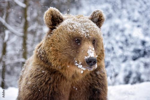 Piękny portret z bliska niedźwiedzia brunatnego (Ursus arctos)