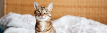 Beautiful Pet Cat Sitting On Bed In Bedroom At Home Looking Up. Relaxing Fluffy Hairy Striped Domestic Animal With Green Yellow Eyes. Adorable Furry Kitten Feline Friend. Web Banner Header
