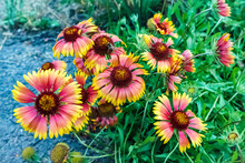 Gaillardia Flowers, Perennial Wildflowers With Yellow Or Reddish Petals.