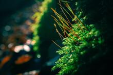Zielony Mech Po Deszczu Na Tle Lasu O Zachodzie Słońca