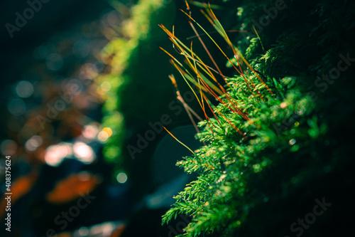 Obraz Zielony mech po deszczu na tle lasu o zachodzie słońca - fototapety do salonu