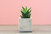 An Isolated Succulent Plant Growing In A Ceramic Vase Situated On A Home Wooden Shelf With A Pink Background.