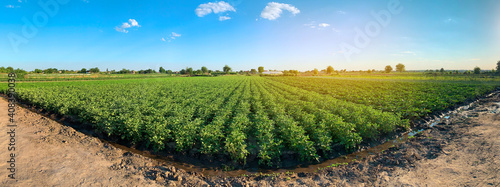 Obraz Panoramic photo of a beautiful agricultural view with potato plantations on the farm on a sunny day. Agriculture and farming. Agribusiness. Agro industry. Growing Organic Vegetables - fototapety do salonu