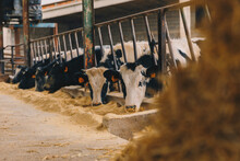 Cows Eating In Stable