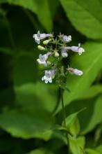 Foxglove Beardtongue, White With Purple Foxglove Flower Close-up