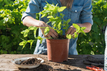 Mid Adult Woman In Denim Dress Transplanting Peppermint In Potted Plant In Garden
