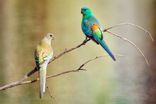 Pair Of Beautiful Little Red-rumped Parrots On A Bare Branch With Blurred Out Water Reflections