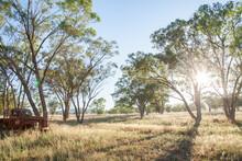 Morning Sunlight Shining Through Gum Trees In Paddock