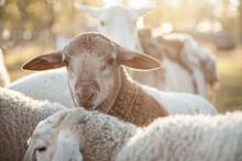 Close Up Of A Young Dorper Lamb Looking At Camera