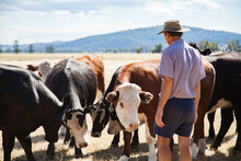Aussie Farmer Standing In Dry Paddock With Cattle On Hot Summers Day