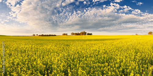 Speckled cloud and sunshine over a paddock of flowering canola