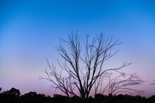 Silhouette Of A Dead Tree With Bare Branches Reaching Into Dusk Sky