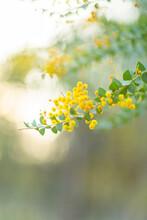 Soft Light On Fluffy Golden Wattle Blooms