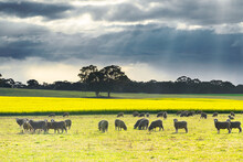 Sheep Grazing In A Paddock With Dark Clouds Overhead